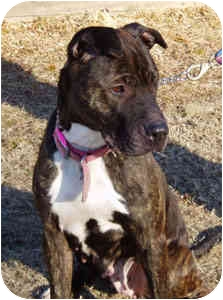 Pascoag Ri American Staffordshire Terrier Meet Zoe A Pet For