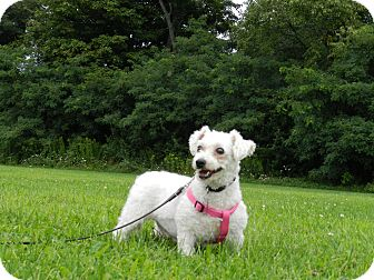 Mentor Oh Bichon Frise Meet Tami A Pet For Adoption