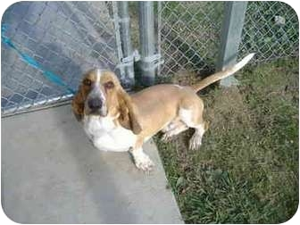 Basset Hound Dog for adoption in Sachse, Texas - Rocky