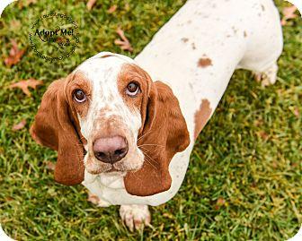 Basset Hound Dog for adoption in Cincinnati, Ohio - Droopy