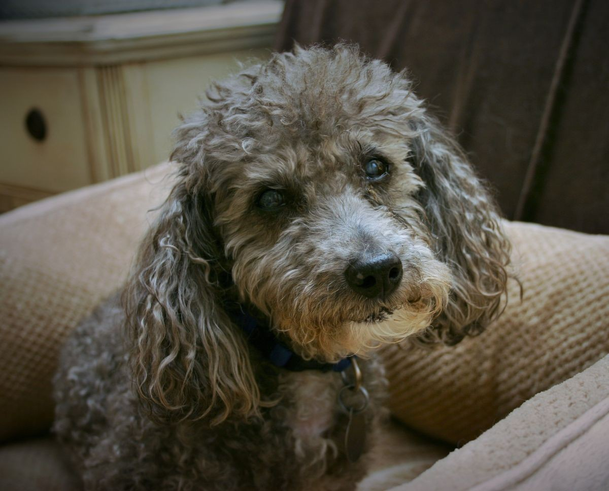 Knoxville Tn Miniature Poodle Meet Abe A Pet For Adoption