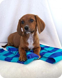 Beagle/Dachshund Mix Puppy for adoption in Newark, Delaware - Micha