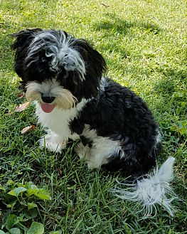 shih tzu heart murmur fairview heights il bichon frise meet andrew a dog for 7537