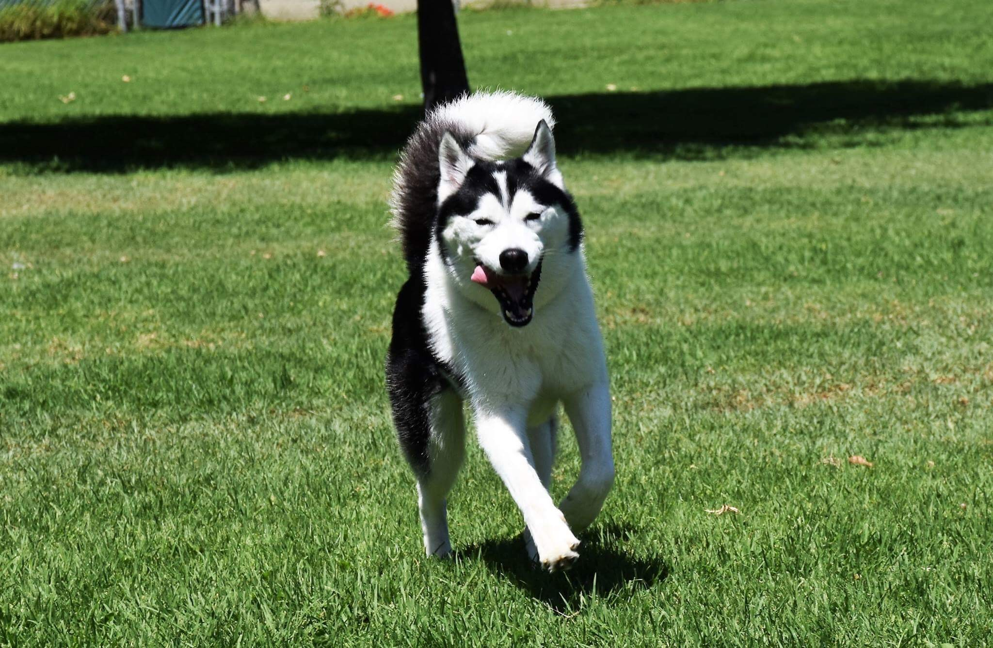 Husky puppies for sale yucca valley - Husky Puppies For Sale Yucca Valley 34