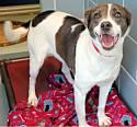 Adopt a Pet :: Scarlet - Union Grove, WI -  German Shepherd Dog/Boxer Mix