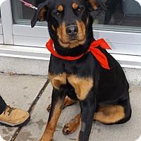 Adopt A Pet :: Tilly - Pierrefonds, QC