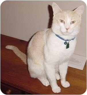 Domestic Shorthair Cat for adoption in Franklin, North Carolina - Oscar