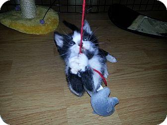Domestic Shorthair Kitten for adoption in Homewood, Alabama - Stewie