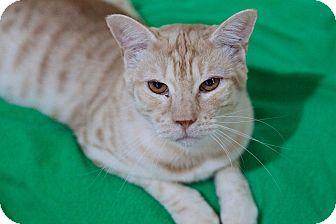 Domestic Shorthair Kitten for adoption in Carencro, Louisiana - Rowen
