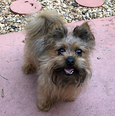Allentown, PA - Yorkie, Yorkshire Terrier  Meet Gizmo a Pet