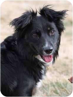 Border Collie Mix Dog for adoption in Portland, Oregon - Toma