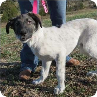 Great Pyrenees Mix Puppy for adoption in Westbrook, Connecticut - Jamie