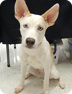 Birmingham Al Husky Meet Anabelle A Pet For Adoption