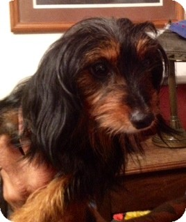 Chicago Il Dachshund Meet Darling Catie A Pet For Adoption