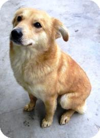 Brazil, IN - Labrador Retriever. Meet Jaimie a Pet for ...  Finnish Spitz Lab Mix