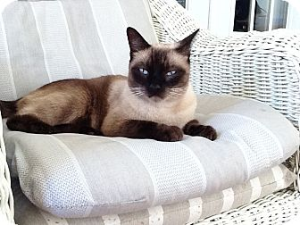 Siamese Cat for adoption in Newark, Delaware - Siam