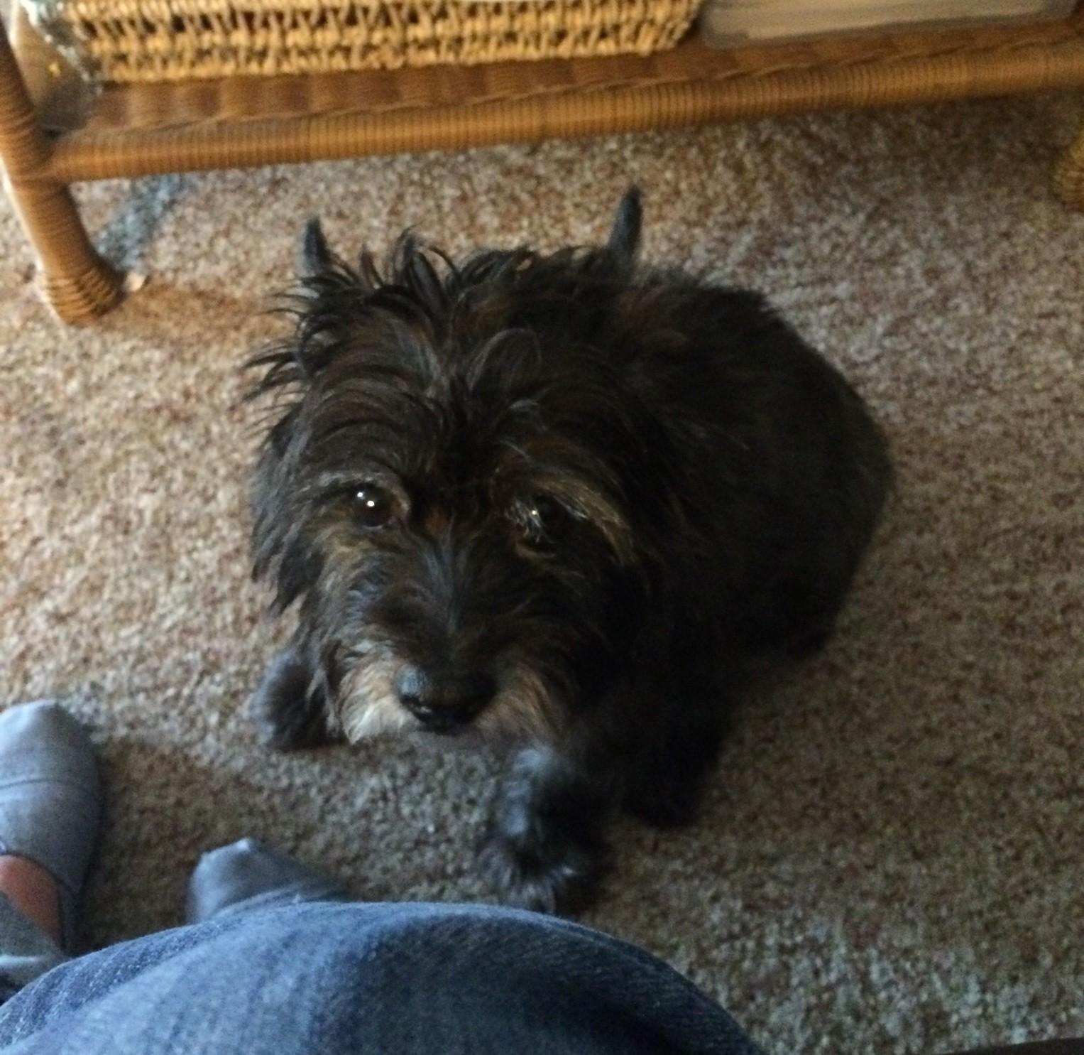 Springfield, MO - Cairn Terrier  Meet Coco a Pet for Adoption