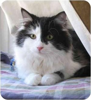 Domestic Longhair Cat for adoption in Cincinnati, Ohio - Darcy