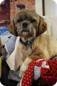 Nashville Tn Shih Tzu Meet Chewy A Pet For Adoption