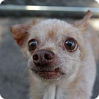 Adopt A Pet :: Grumpy - Brooksville, FL