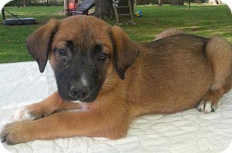 Shepherd (Unknown Type) Mix Puppy for adoption in Trenton, New Jersey - Gertie