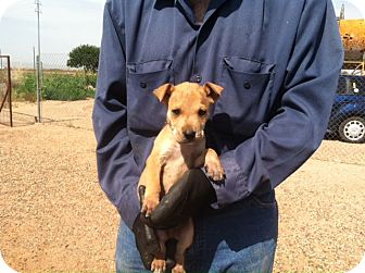 Boxer Mix Puppy for adoption in Childress, Texas - Tater Tot