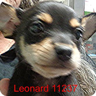Chihuahua Mix Puppy for adoption in Greencastle, North Carolina - Leonard