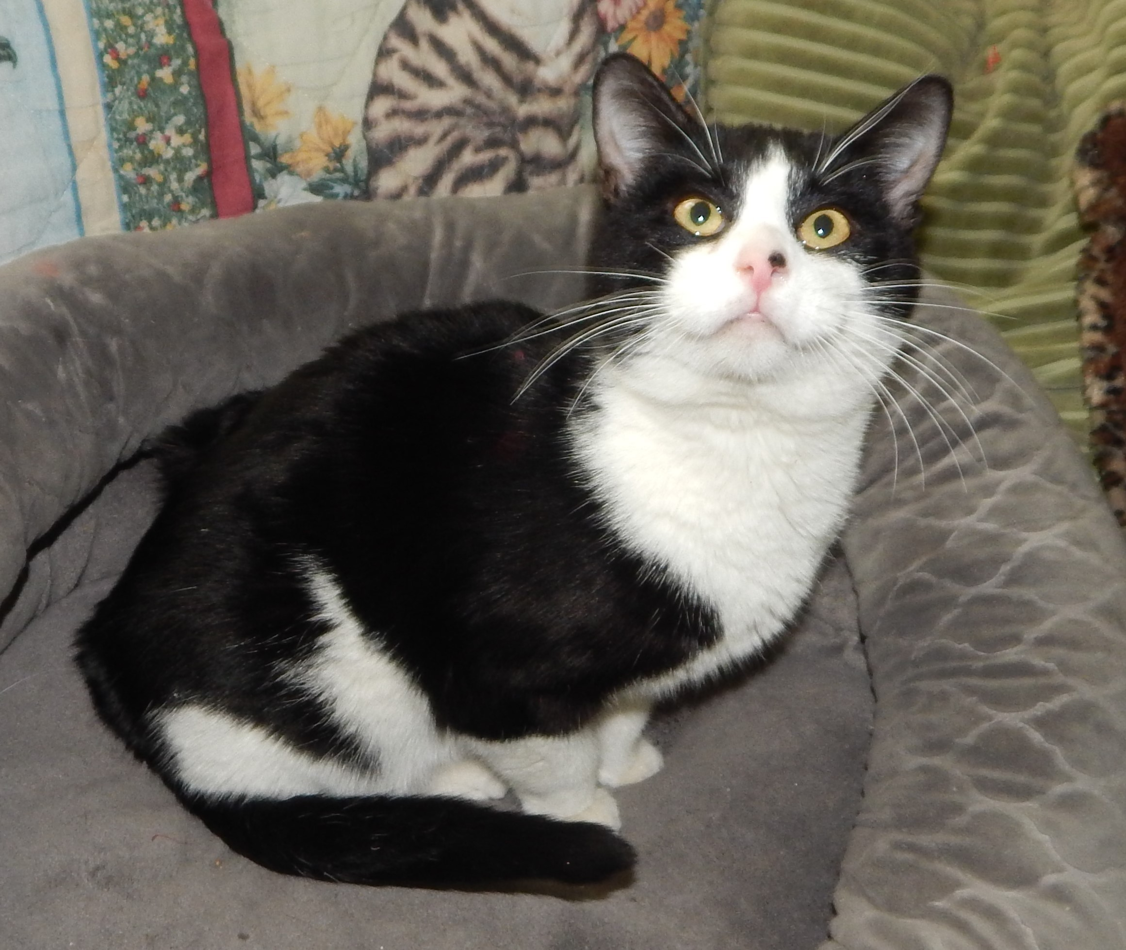 Plano, TX - Domestic Shorthair. Meet SUNDANCE KID - CUTEST TUXEDO! a ...
