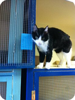 Domestic Shorthair Cat for adoption in Laguna Woods, California - Amazing Oreo