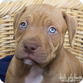Pit Bull Terrier/American Staffordshire Terrier Mix Puppy for adoption in Charlotte, North Carolina - BeeTee (Hunger Games Litter)
