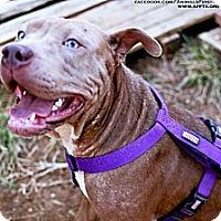 Adopt A Pet :: Lola - Irving, TX