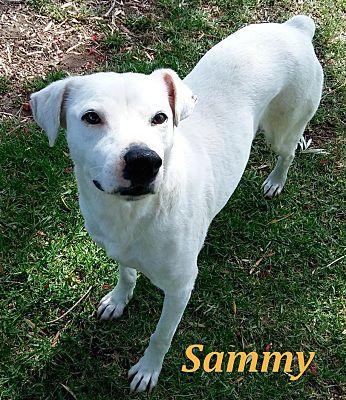 El cajon ca boxer meet sammy a dog for adoption adopted solutioingenieria Images