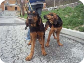 All Of Ct Bloodhound Meet Purebred Pups A Pet For Adoption