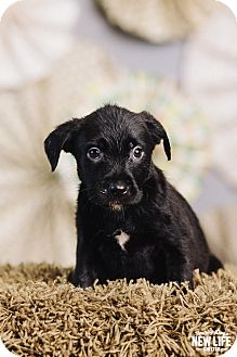Labrador Retriever/Pit Bull Terrier Mix Puppy for adoption in Portland, Oregon - Tuna