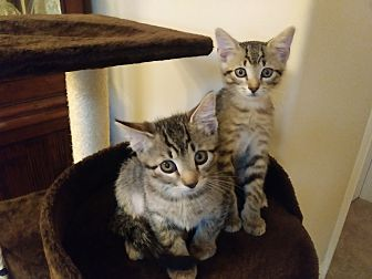 Adopt A Pet :: Siblings Brother need a Home..  - Ft Myers Beach, FL