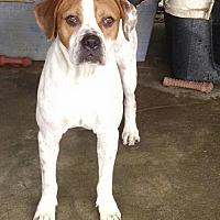 Adopt A Pet :: Dutch - Ringoes, NJ