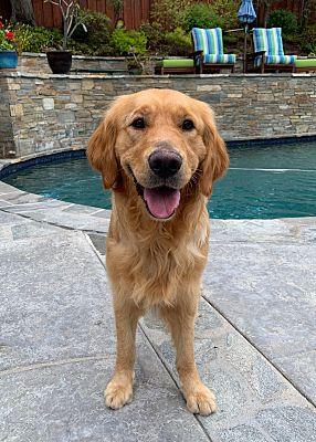 San Diego Ca Golden Retriever Meet Ricky A Pet For Adoption