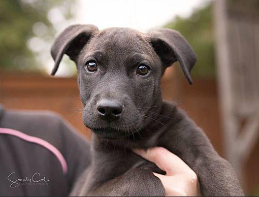 Winnipeg Mb Great Dane Meet Nora A Pet For Adoption