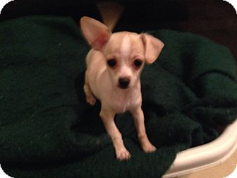 Chihuahua Mix Puppy for adoption in Winchester, California - Johnny