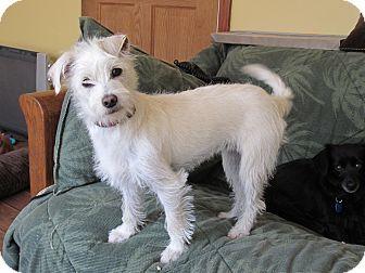 Warwick Ny Westie West Highland White Terrier Meet Portia