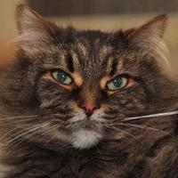 Domestic Longhair/Domestic Shorthair Mix Cat for adoption in St. Catharines, Ontario - Bubble