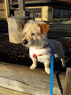 antioch ca dachshund meet accio a pet for adoption