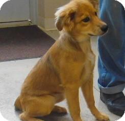 watch 0ea7b f1925 Buford, GA - Golden Retriever. Meet Chewbucca a Pet for Adoption.