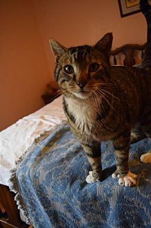 Adopt A Pet :: Ernest Hemingway  - Bluefield, WV