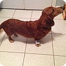 Adopt A Pet :: Gibbs