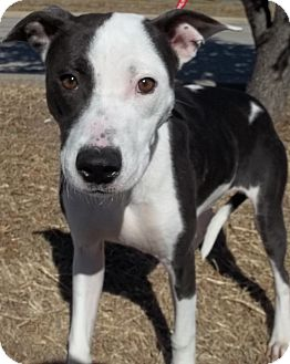 Lancaster Tx Pit Bull Terrier Meet Brody A Pet For Adoption