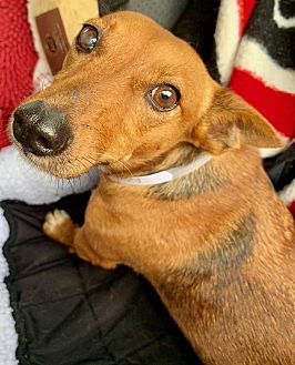 Adopt A Pet :: Sweet Darla....  - Ft Myers Beach, FL