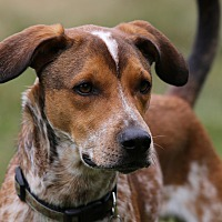 Adopt A Pet :: Jody-Foster to Adopt - Wood Dale, IL