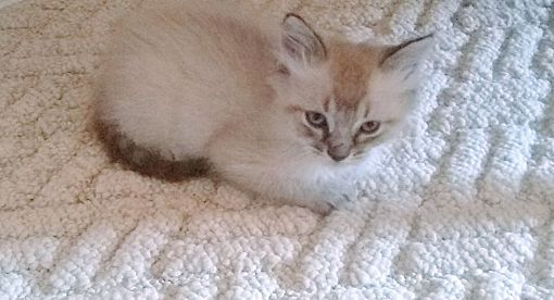 Moundsville Wv Siamese Meet Olaf A Pet For Adoption