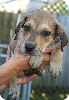 Englewood, FL - Rhodesian Ridgeback  Meet Stan a Pet for